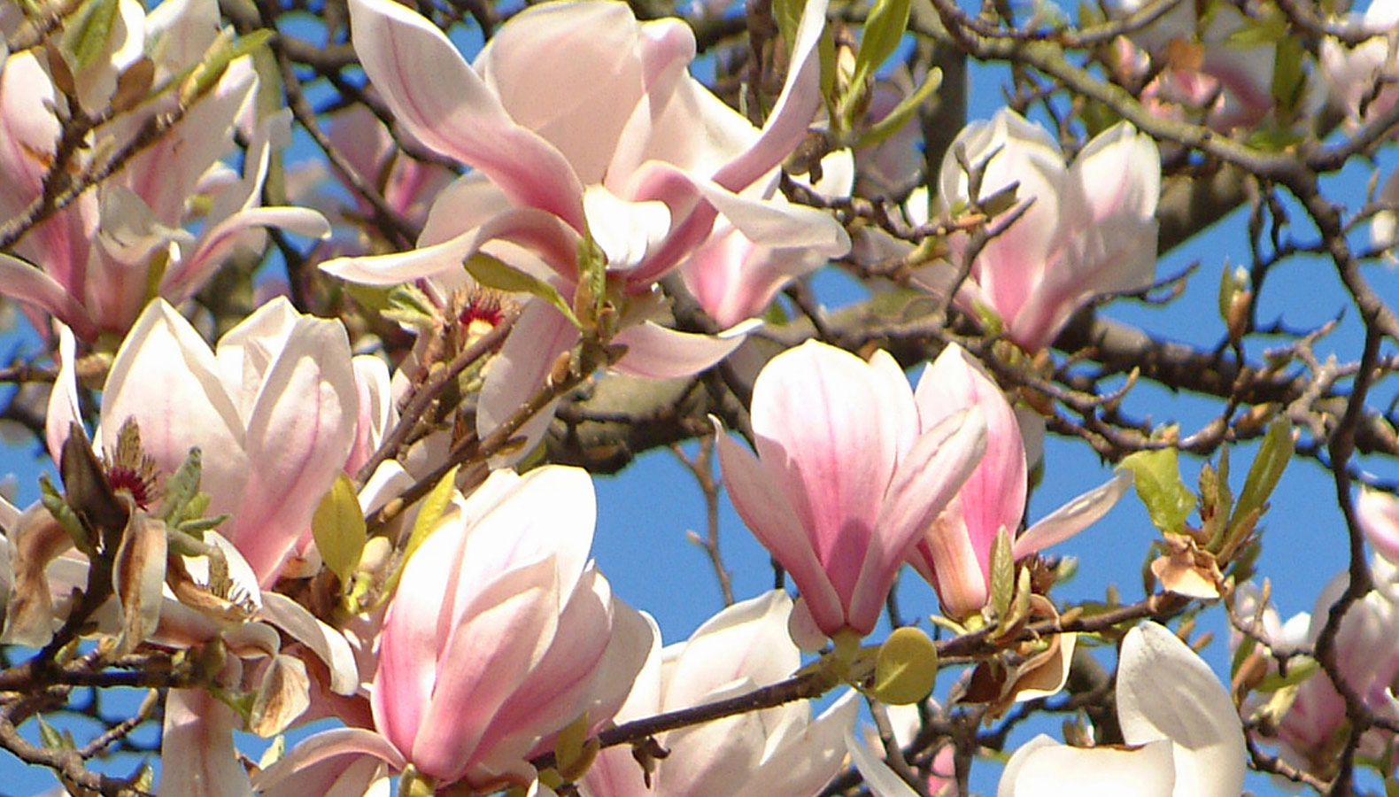 Flowering magnolia tree stencil design inspirations henny so it is every year when magnolia trees come into bud and flower their large majestic flowers unfurling into the cup like open globes of soft blush pink mightylinksfo