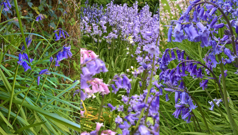 Bluebell-types