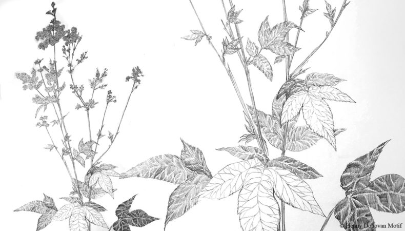 Meadowsweet-sketches-2A