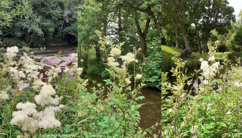 Meadowsweet-waterside-1