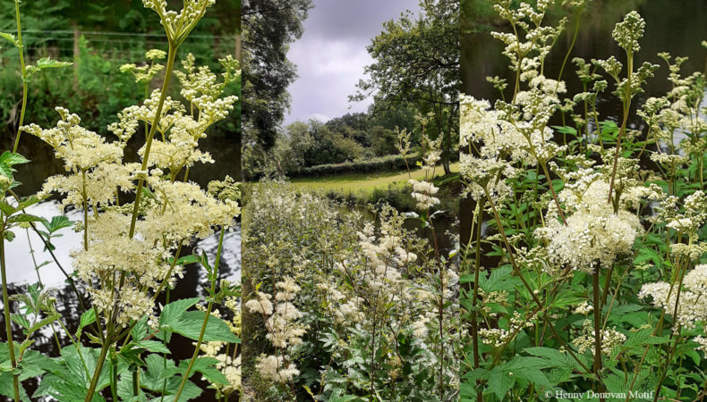Meadowsweet-waterside-2