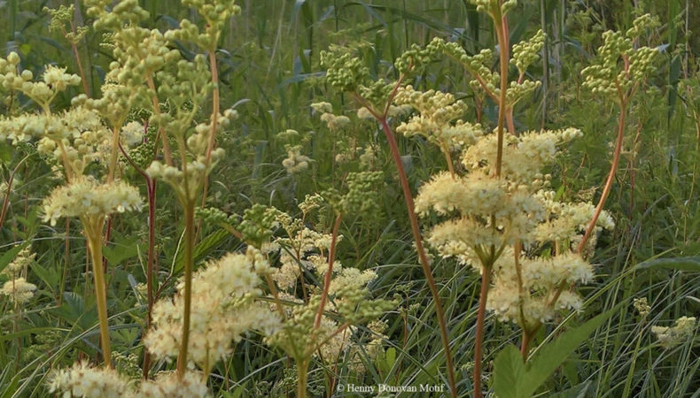 Meadowsweet-waterside-3
