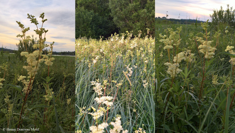 Meadowsweet-waterside-4